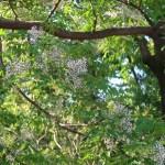 Chinaberry tree/ センダン 花の咲いている木の様子