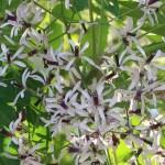 Chinaberry tree/ センダン 花の様子