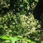 Euscaphis japonica/ ゴンズイ 花の咲いている様子