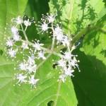 Nettle-leaved hydrangea/ コアジサイ 花の様子