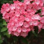 Mountain-laurel カルミア 花の様子