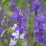 Larkspur/ ヒエンソウ 花の姿