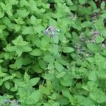 Catnip/ イヌハッカ属 Nepeta cataria?の花の咲いている様子
