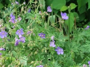 Meadow crane's-bill/ ノハラフウロ 花の咲いている様子
