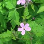 Herb-Robert/ ヒメフウロ 花の様子