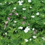 Meadow anemone/ メドウ・アネモネ 花の咲いている様子