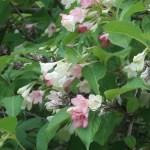Japanese Weigela ハコネウツギ 花の様子