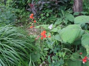 Tassel Flower/ ベニニガナ 花の咲いている様子