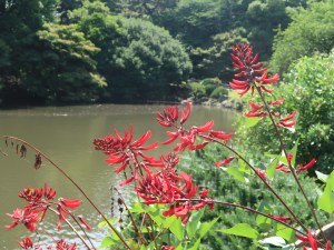 Camden Coral Tree/ サンゴシトウ 花の咲いている様子