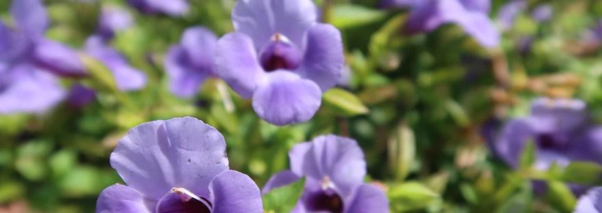 Bluewings/ ハナウリクサ 花の様子