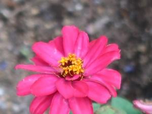 Elegant zinnia/ ヒャクニチソウ 花の姿