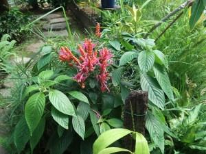 Coral aphelandra/ アフェランドラ シンクライリアナ 花の咲いている様子