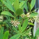 Kandelia/ メヒルギ 花の咲いている様子
