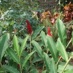Alpinia purpurata/ Red ginger 花の咲いている様子