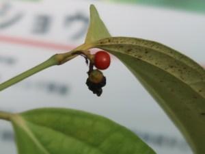 Black pepper/ コショウ 赤い実の様子