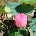 Lotus/ ハス 花の姿