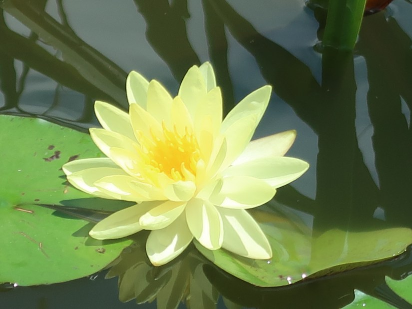 Water-lily/ スイレン