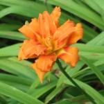 Orange Daylily/ ヤブカンゾウ 花の様子