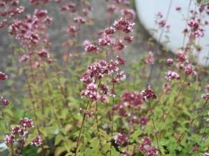 Oregano/ オレガノ 花の咲いている様子