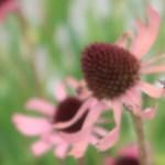 Tennessee coneflower/ テネシーコーンフラワー 花の姿