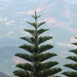 Norfolk Island pine / ノーフォークマツ 木の様子