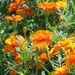 French marigold/ フレンチ・マリーゴールド 花の様子