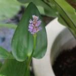 Pickerelweed/ ナガバミズアオイ 花の様子