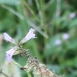 East Asian sage/ アキノタムラソウ 花の姿