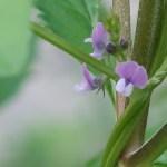 Wild soybean/ ツルマメ