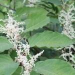 Asian knotweed/ イタドリ 花の咲いている様子