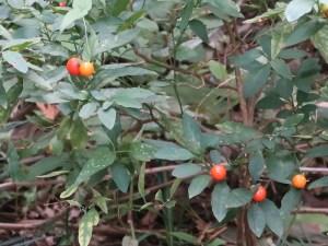 Jerusalem cherry/ タマサンゴ 実のなっている様子