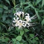 Red spider lily ヒガンバナ 白花の咲いている様子