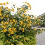 Argentine senna/ ハナセンナ 花の咲いている様子