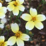 Larger bur-marigold/ ウインターコスモス 花の姿