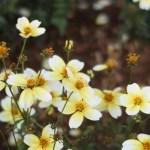 Larger bur-marigold/ ウインターコスモス 花の咲いている様子