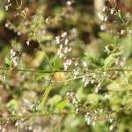 Rabdosia japonica/ ヒキオコシ 花の咲いている様子