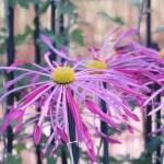 Florist's daisy/ キク 肥後菊