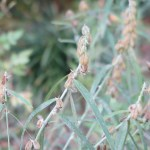 Crotalaria sessiliflora/ タヌキマメ 実のなっている様子