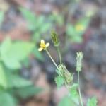 Yellow Flowered Blackjack/ センダングサ 花の様子