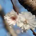 Cherry var. Kobuku zakura/ コブクザクラ 花の姿