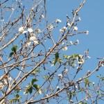 Cherry var. Kobuku zakura/ コブクザクラ 花の咲いている様子