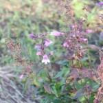 Small's Beardtongue/ ペンステモン・スモーリー 花の咲いている様子