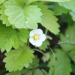 Wild strawberry/ ワイルドストロベリー 花の様子
