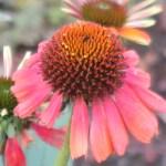 Coneflowers/ エキナセア オレンジ色のエキナセア 花の姿