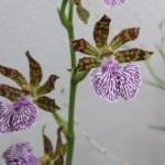 ジゴペタラム Zygopetalum mackayi 花の様子