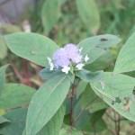 Bracted Hydrangea/ タマアジサイ 花の様子