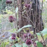Synurus pungens/ オヤマボグチ 花の咲いている様子