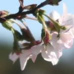 Cherry, October sakura/ ジュウガツサクラ 花の姿