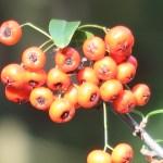 Nepalese white thorn/ カザンデマリ 実の様子
