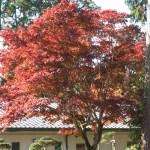 Acer amoenum / オオモミジ 紅葉した木の様子
